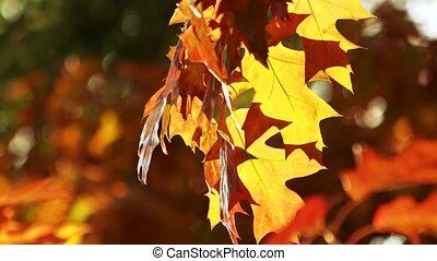 Colourful autumn oak leaves. Windblowing on leaves...