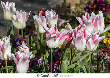 Colourful display of white and red Tulips in East Grinstead