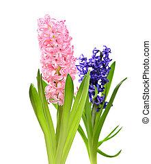 Colourful Hyacinth isolated on white background