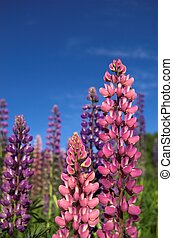 Colourful Lupins 1