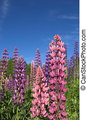 Colourful Lupins 2