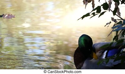 Colourful mallard dabbling duck in natural habitat. Waterflow multi colored bird in wild nature. Waterbird in wilderness. Green leaves near the pond or lake. Iridescent plumage, emerald head.