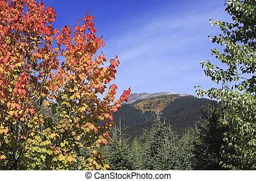 Colourful maple bush