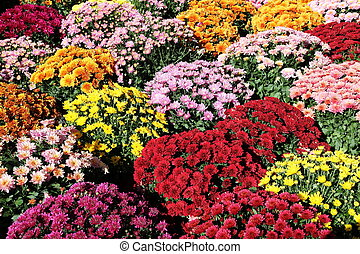 A colourful background of pots of autumn chrysanthemums