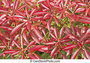 Colourful red leaves of Pieris shrub