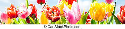 Colourful spring banner of fresh tulips