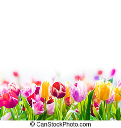 Field of colourful spring tulips fading into the distance as a lower border on a white background with copyspace