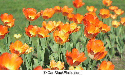 Beautiful glade of tulips outdoors - Colourful tulips....