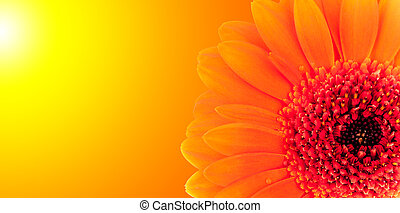 colpo, fiore, macro, fuoco, dettaglio, profondità, fondo, basso, offuscamento, gerber, baluginante