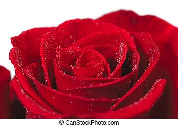 colpo, rosa, singolo, closeup, fondo, bianco rosso