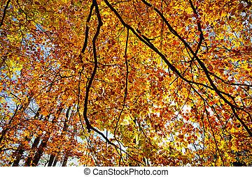 colpo, sole, albero, contro, fogliame autunno, faggio