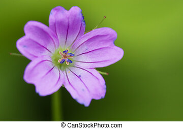 colse up of a pink geranium dissectum geraniacee in green backgroud
