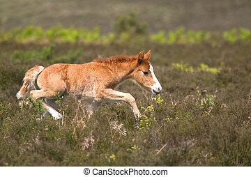 Colt on the run - Wild colt running across heathland