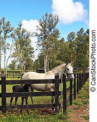 colt., pferd, schwarz, weißes, vollblut