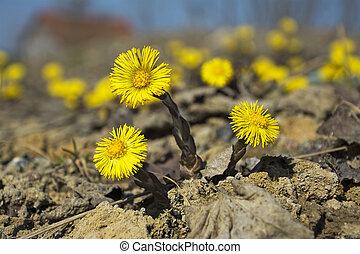 coltsfoot, el, primero, primavera, flores amarillas