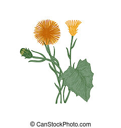 Coltsfoot flowers, buds and leaves isolated on white background. Elegant drawing of perennial plant or wild herb used in herbal medicine or phytotherapy. Natural vector illustration in vintage style