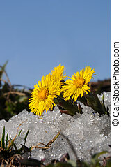 Coltsfoot in snow - Norwegian springtime, Coltsfoot in snow.