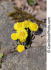 coltsfoot in spring