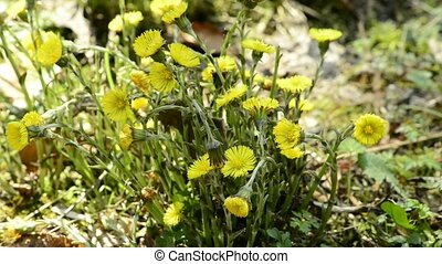 Coltsfoot, medicinal plant of Germany with flower in early...