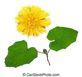 coltsfoot, medizinisch, plant:
