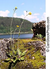 coltsfoot on the lake