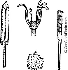 Coltsfoot or Tussilago farfara, showing (clockwise from left) petals, flower head, style, and pollen (enlarged), vintage engraved illustration. Dictionary of Words and Things - Larive and Fleury - 1895