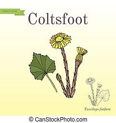 Coltsfoot tussilago farfara - medicinal plant. Hand drawn botanical vector illustration