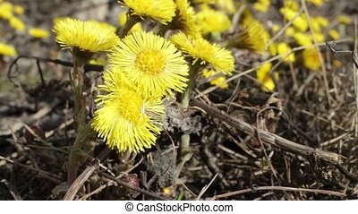 coltsfoot Yellow primroses tremble - coltsfoot Yellow...