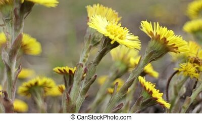 coltsfoot Yellow primroses - Yellow primroses coltsfoot...