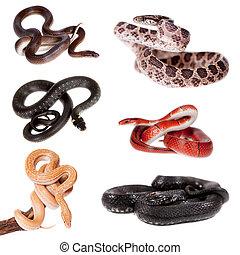 Colubridae snakes set, on white
