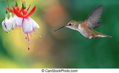 colubris), clair, sur, (archilochus, fond, colibri, vol