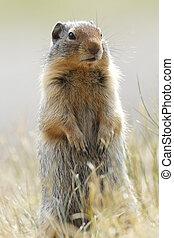 Columbia Ground Squirrel - Banff National Park, Canada
