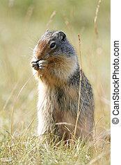 columbia, scoiattolo macinato, -, banff parco nazionale, canada