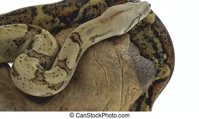 Columbian Boa or Boa constrictor imperator on wooden snag ...