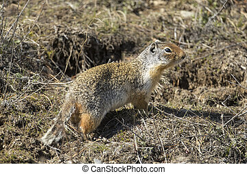 Columbian ground squirrel on the ground.