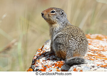 Columbian Ground Squirrel - Waterton Lakes National Park