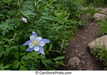 Columbine by the Trail - As you near Chicago Lakes in the ...