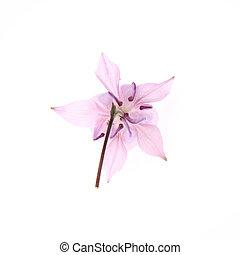 Columbine pink flower on white background