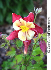 Red and white columbine flower in garden.