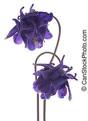 columbine - Studio Shot of Blue Colored Columbine Flowers...