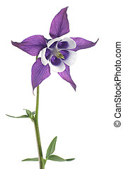 Studio Shot of Blue and White Colored Columbine Isolated on White Background. Large Depth of Field (DOF). Macro.