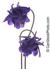 columbine - Studio Shot of Blue Colored Columbine Flowers...
