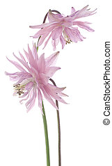 Studio Shot of Pink Colored Columbine Flowers Isolated on White Background. Large Depth of Field (DOF). Macro.