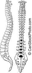 columna espinal, engraving., humano, vendimia, cuerpo