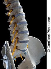 columna, espinal