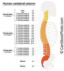 columna vertebral, espina dorsal, nombres