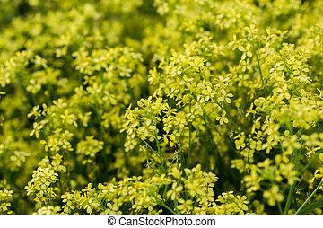 colza, 花, フォーカス, 黄色, boke, 精選する, ぼやけ, 野生