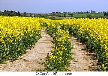colza, canola, campo, rapeseed, rural, ou, estrada