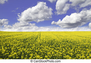 Colza field - Yellow colza field  with a blue sky