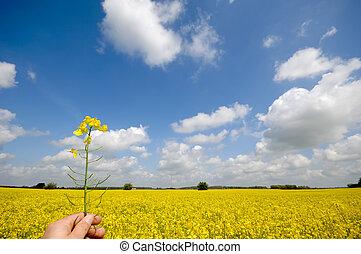 colza, fleur, dans, main